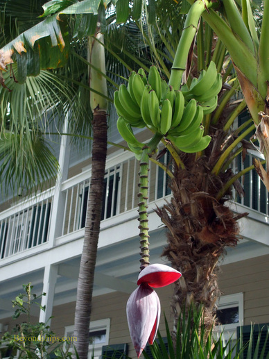 Banana tree, Key West