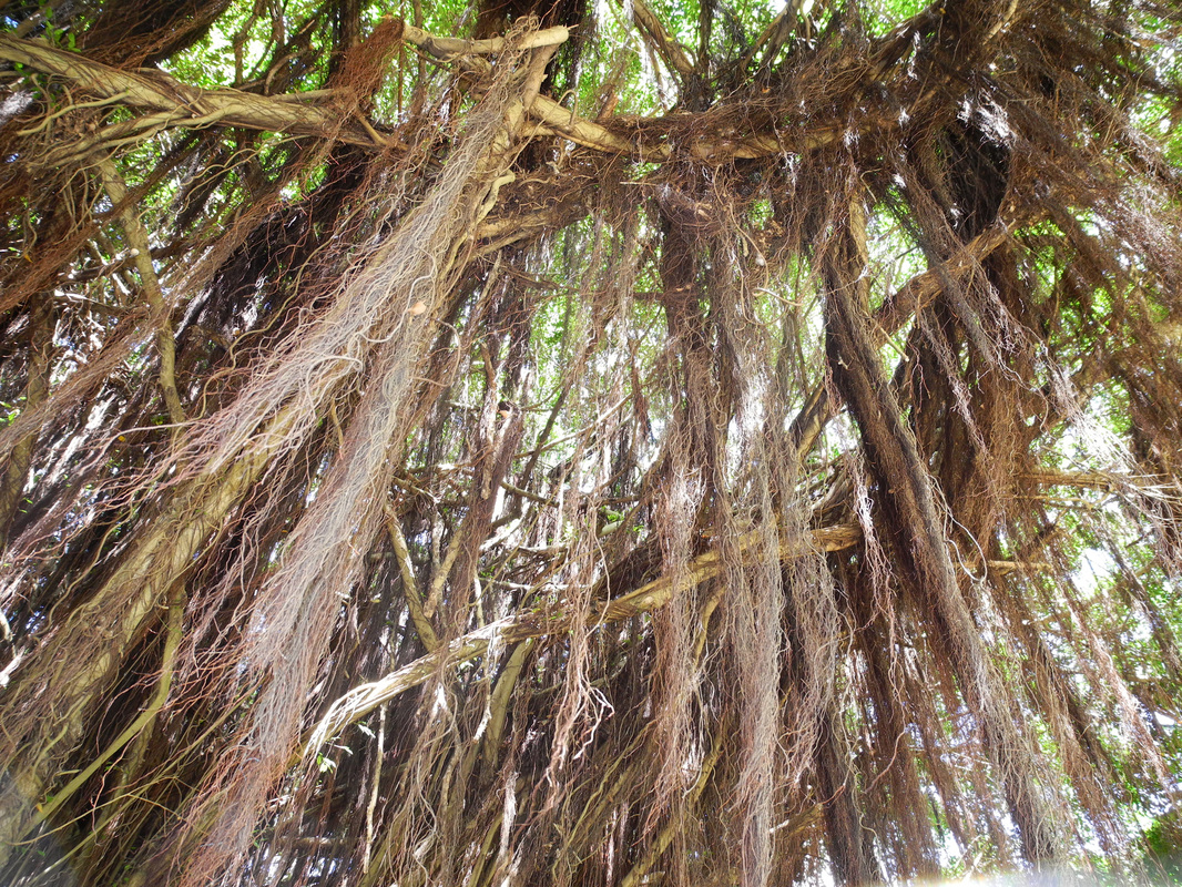 Bearded tree, Barbados